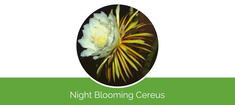 Night Blooming Cereus4
