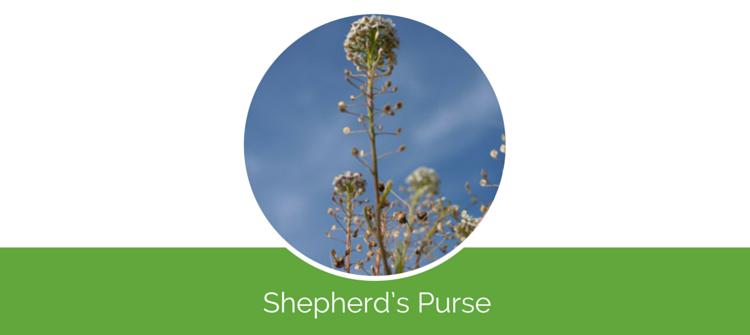 Shepherd's Purse6